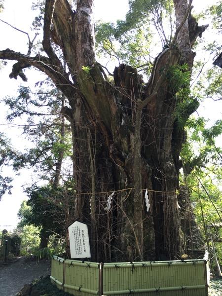 加藤神社の大銀杏の画像