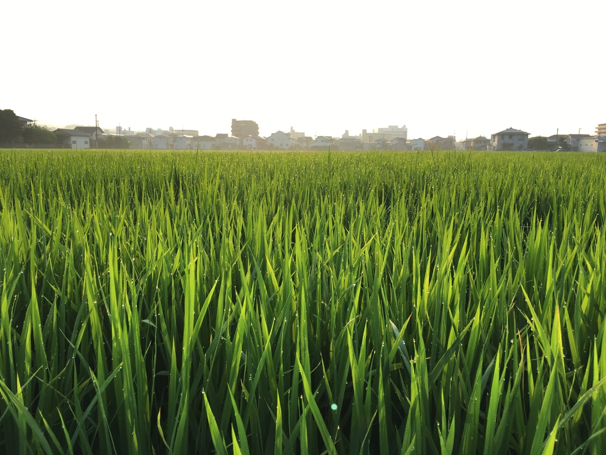 田んぼの稲の画像