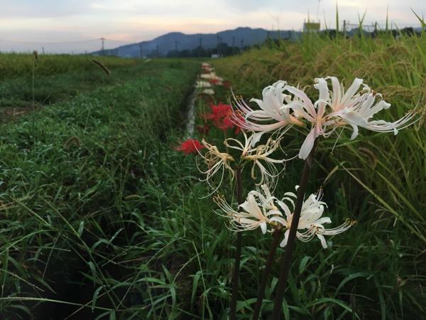 白と赤の彼岸花