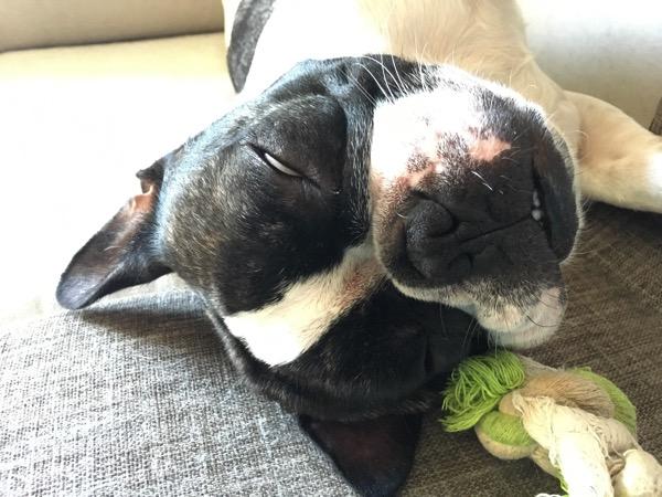 フレンンチブルドッグのウメが寝ていてシロメになっている画像