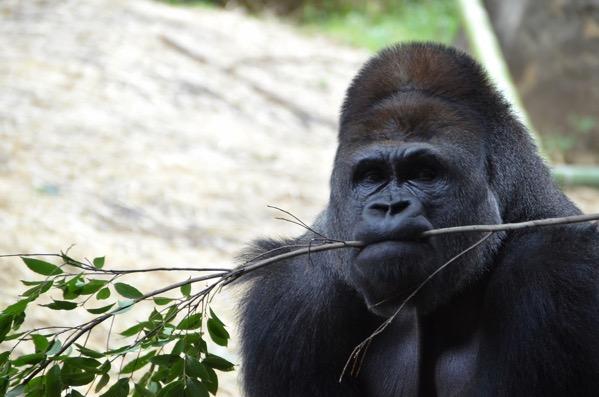 枝を咥えるゴリラの画像